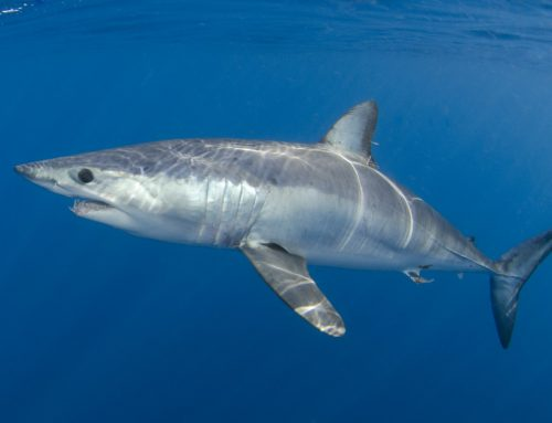 Shark Overfishing Reflected in Updated IUCN Red List