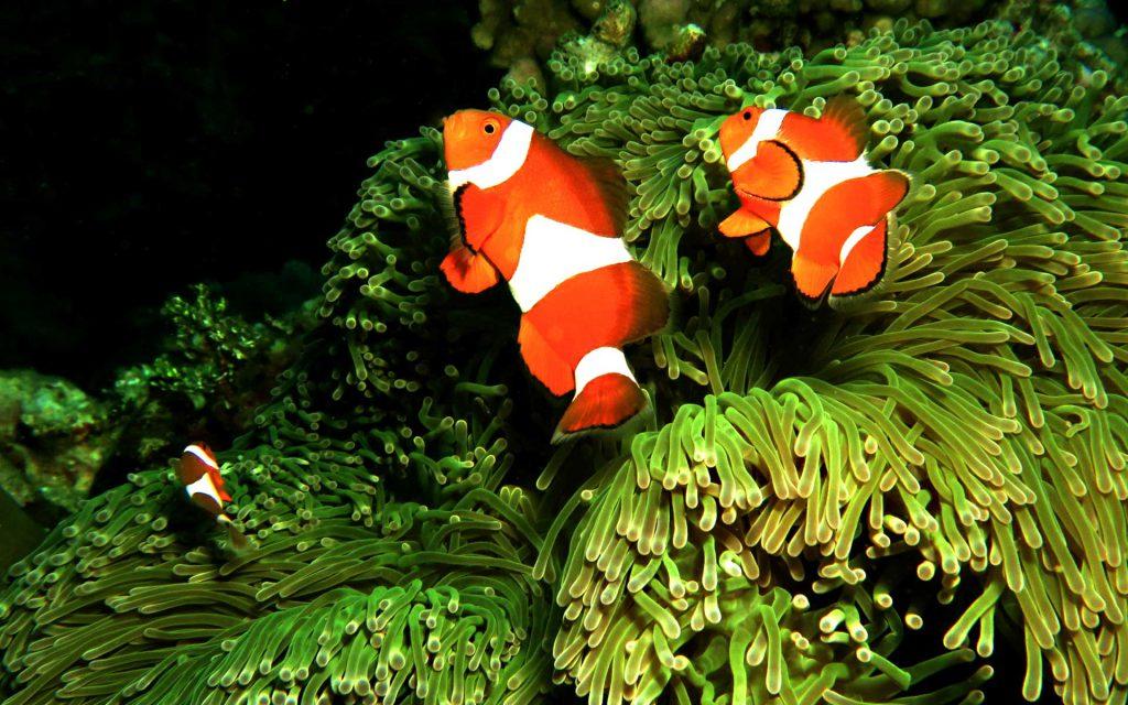 False Clown Anenome fish - Scuba Diving